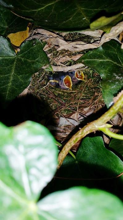 Winterkoninkjes nest augustus 2014